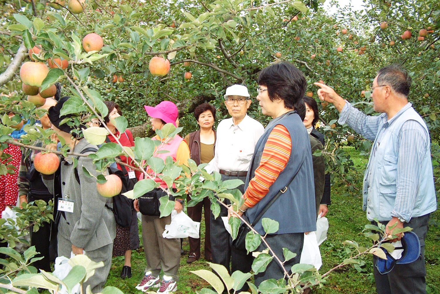 Experience the harvest of apples in Tsuruta