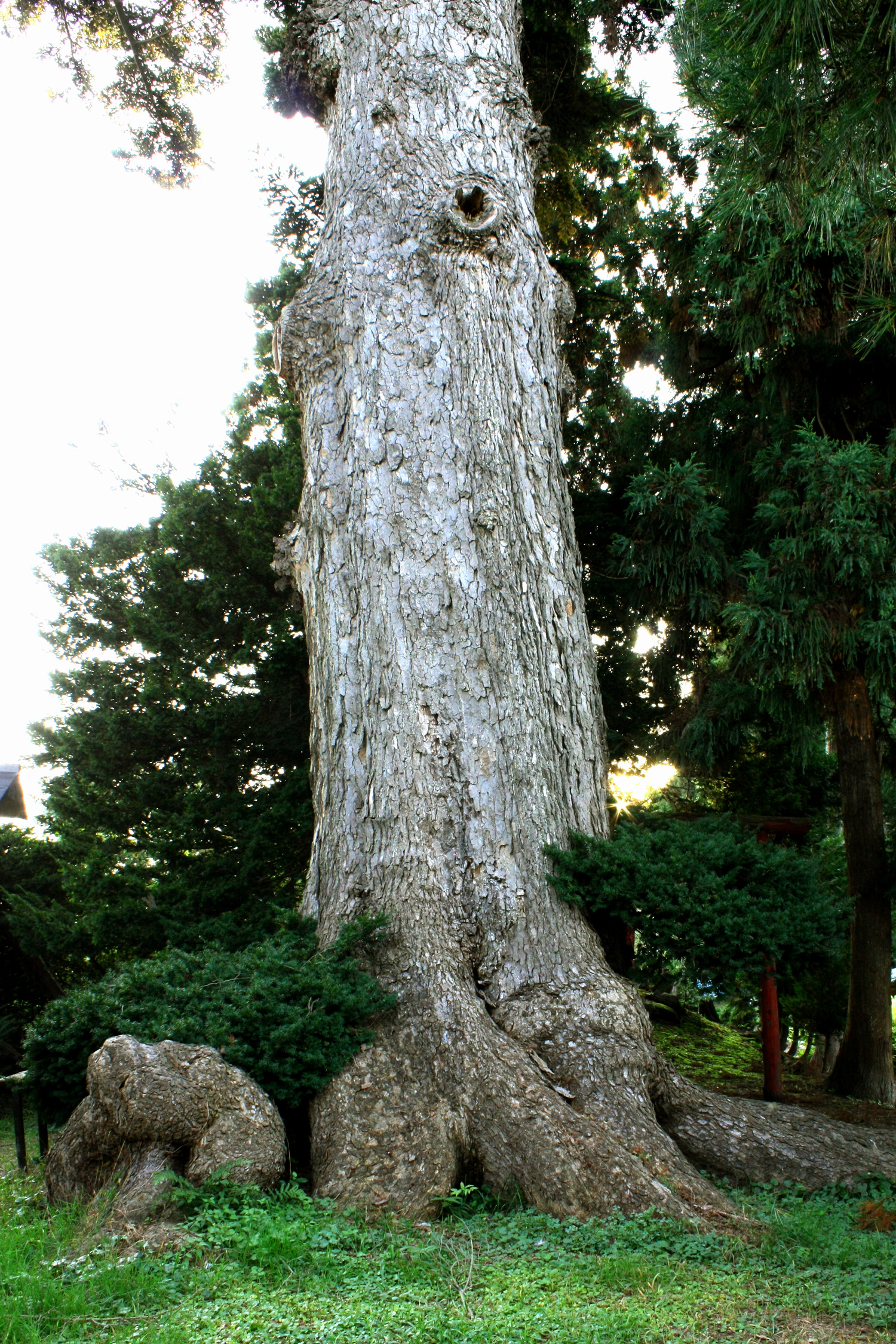 Todoroppo is Fir tree with 6 meters (20 ft)girth