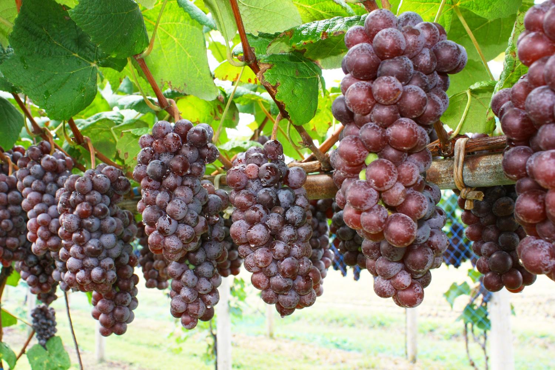 Steuben Grapes