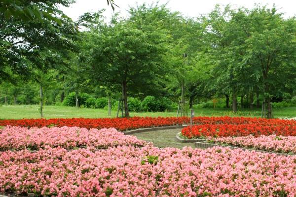 Begonia flowers in Fujimi Lake Park