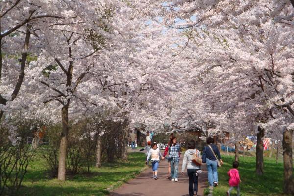 Cherry Blossom Festival at Tsugaru Fujimi Lake