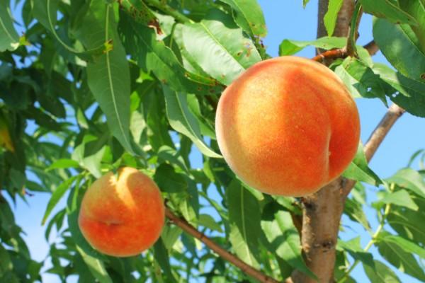 Tama Usagi Peach