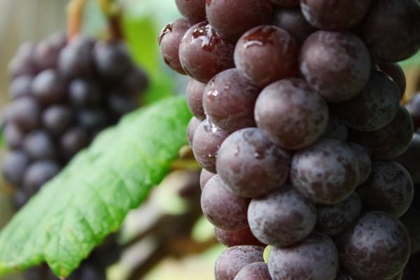 Velvety Steuben grapes