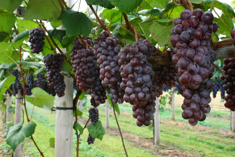 Steuben grapes from New York, USA